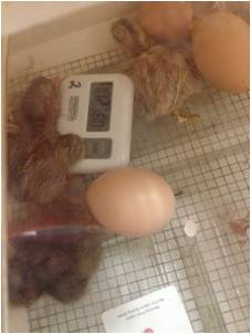 Temperature of a Hatching Egg